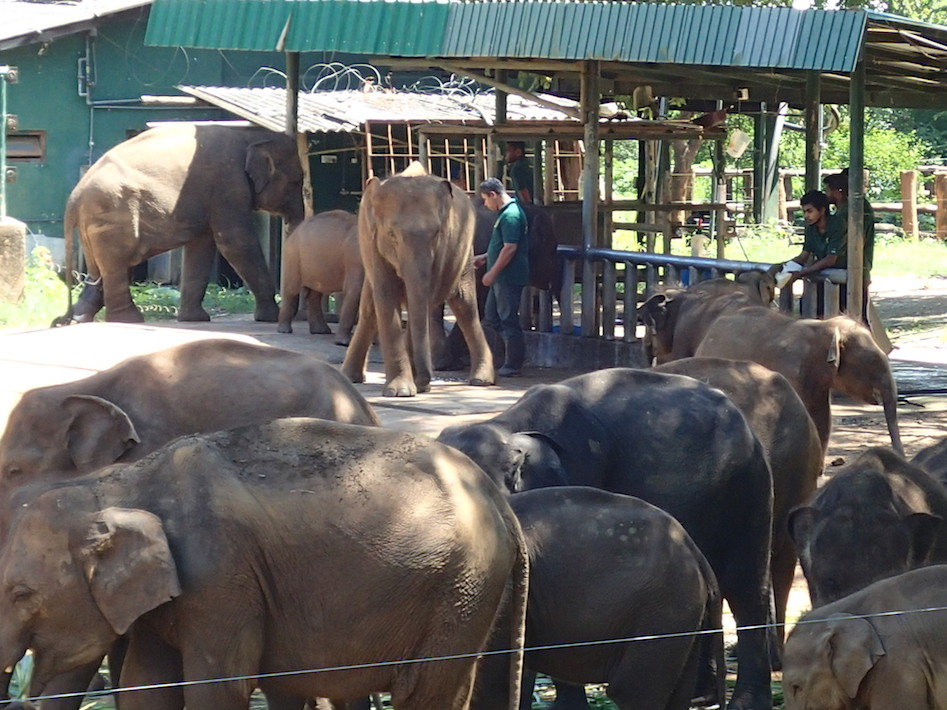 Feeding time at the elephant orphanage