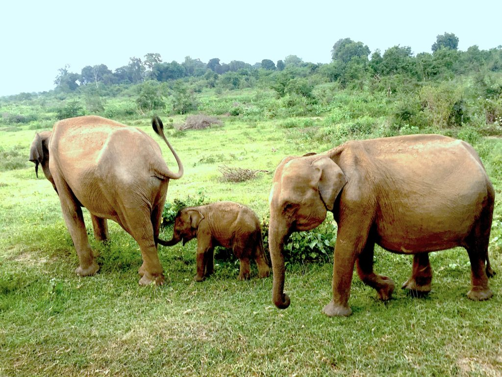 Elephants in Uda Walawe
