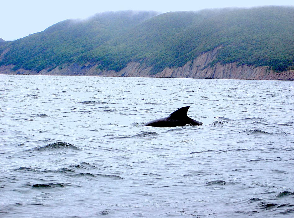 Pilot Whales,Pleasant Bay, Cape Breton