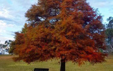Autumn tree Moss Vale