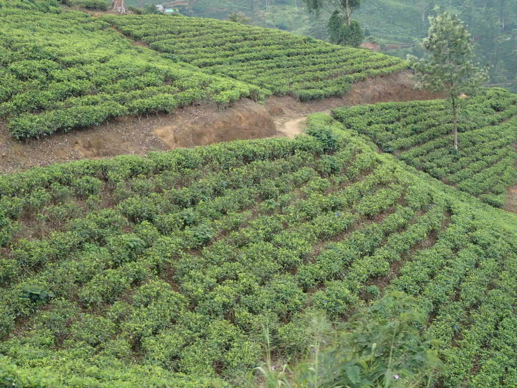 Tea Plantations on the Kandy to Ella train ride