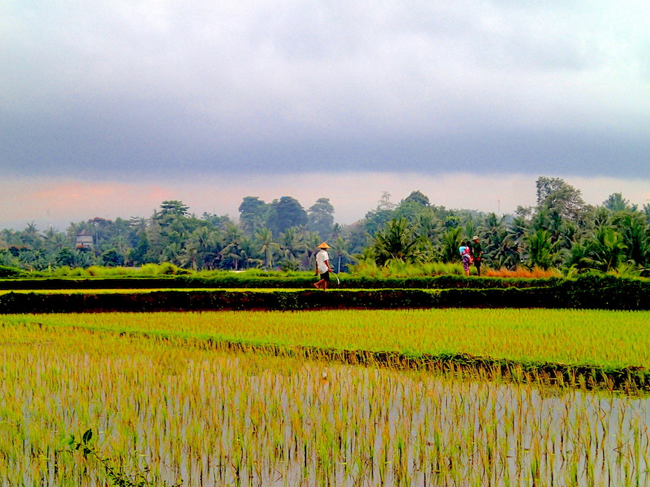 Rice farming near Babeck Resto